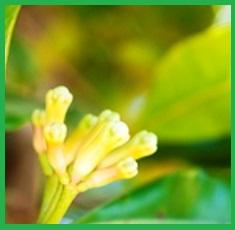 Pure-Clove-Bud-Essential-Oil__67148_1379517526_150_150