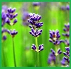 Pure-Lavender-Essential-Oil__66537_1379517531_150_150