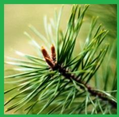 Pure-Pine-Scotch-Essential-Oil__36085_1379517538_150_150