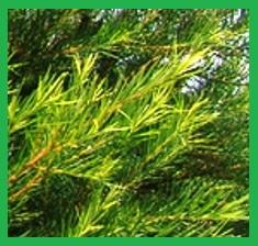 Pure-Tea-Tree-Essential-Oil__36450_1379517540_150_150