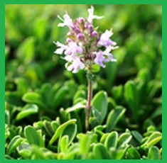 Pure-Thyme-Essential-Oil__61862_1379517540_150_150