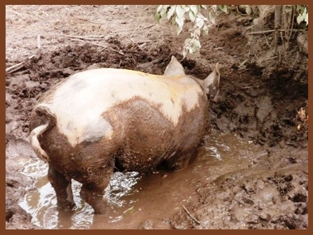 a pig in mud 031
