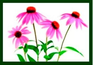 echinacea-1