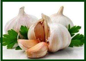 garlic_15