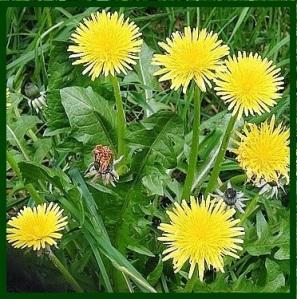 dandelion-plant-02