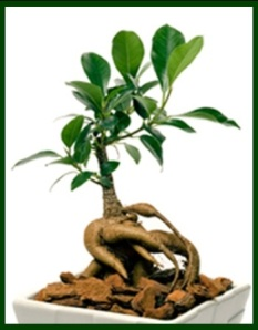 ginseng_plant
