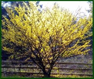 Witch-hazel-tree
